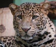 Melashoofd van Pantherapardus royalty-vrije stock fotografie