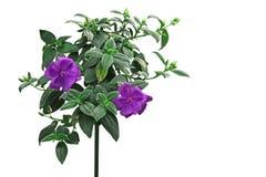 Melastoma Flower Stock Photo