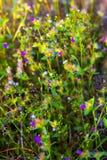 Melastoma polyanthum Bl. MELASTOMATACEAEE flowe blooming. In field at Mukdahan Nation Park, Thailand Royalty Free Stock Images