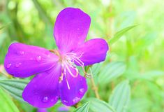 Melastoma Polyanthum - Fiołkowy kwiat z Wodnymi kropelkami na płatkach z Naturalnym Greenery tłem fotografia stock