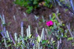 MELASTOMATACEAE-Blumenunschärfe mit Waldgras Stockbilder