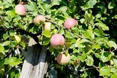 Melba äpplen på trädet Arkivbilder