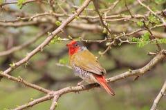 Melba Finch - rött Rufous Arkivfoton