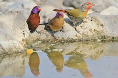 Melba Finch and Violet-eared Waxbill - Wild Bird B Stock Photo