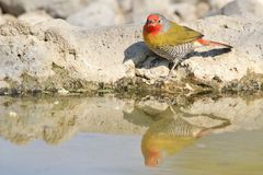 Melba Finch - Wild Bird Background from Africa - Red and Orange Reflection Stock Images