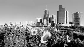 Melbourne lata słoneczniki obrazy stock