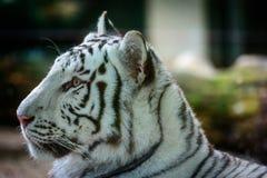 Mele Bengal tiger Stock Photos
