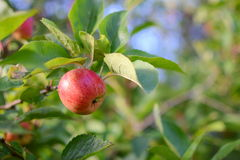 Mele che crescono su un ramo di melo Immagini Stock