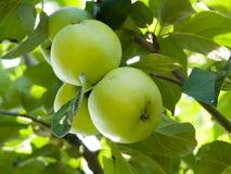 Mele della frutta su un albero Immagini Stock Libere da Diritti