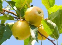 Mele della frutta su una filiale Fotografie Stock