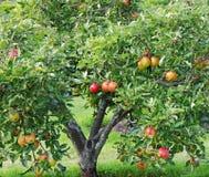 Mele di maturazione su un albero immagini stock libere da diritti