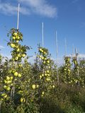 Mele di mela golden gialle nel frutteto di frutta olandese sotto cielo blu in Olanda Fotografie Stock Libere da Diritti