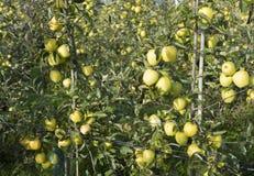 Mele di mela golden gialle nel frutteto di frutta olandese sotto cielo blu in Olanda Immagini Stock Libere da Diritti