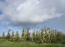 Mele di mela golden gialle nel frutteto di frutta olandese sotto cielo blu in Olanda Immagine Stock