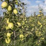 Mele di mela golden gialle nel frutteto di frutta olandese sotto cielo blu in Olanda Fotografia Stock