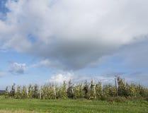 Mele di mela golden gialle nel frutteto di frutta olandese sotto cielo blu in Olanda Immagine Stock Libera da Diritti