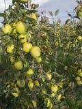 Mele di mela golden gialle nel frutteto di frutta olandese sotto cielo blu in Olanda Fotografia Stock Libera da Diritti