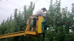 Mele di raccolto dell'agricoltore sugli alberi Fotografie Stock