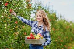 Mele di raccolto della giovane donna in giardino Immagine Stock