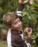 Mele felici di raccolto del bambino Fotografia Stock Libera da Diritti