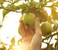 Mele fresche di Adult Man Picking dell'agricoltore nel tramonto del giardino Immagini Stock Libere da Diritti