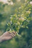 Mele fresche di Adult Man Picking dell'agricoltore nella tonalità del giardino Fotografia Stock Libera da Diritti