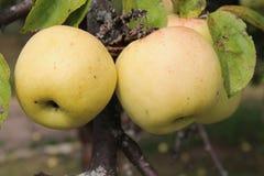 Mele gialle di Antonovka sul ramo di melo Fotografia Stock