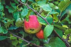 Mele mature che appendono sul ramo di albero Prodotto organico fotografia stock