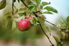 Mele mature fresche su un albero in un giardino fotografia stock
