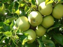 Mele mature nel frutteto di frutta Fotografia Stock Libera da Diritti