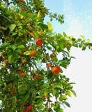 Mele mature rosse sulle filiali di melo Immagini Stock Libere da Diritti