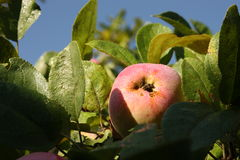 Mele mature su di melo Immagine Stock Libera da Diritti