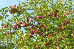 Mele mature su un albero Immagine Stock Libera da Diritti