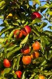 Mele mature su una filiale di albero Fotografia Stock