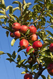 Mele mature su una filiale di albero Immagini Stock Libere da Diritti