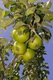 Mele mature sulle filiali di albero Immagini Stock Libere da Diritti