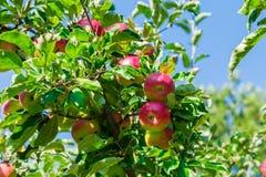 Mele mature sulle filiali di albero Frutta e foglie verdi rosse frutteto Immagine Stock