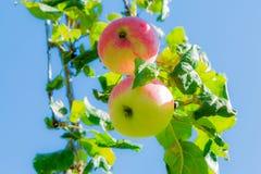 Mele mature sulle filiali di albero Frutta e foglie verdi rosse frutteto Fotografia Stock Libera da Diritti