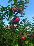 Mele meravigliose rosse nell'albero che aspetta per essere selezionato in autunno fotografia stock libera da diritti