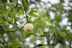 Mele molto raffinate su un albero fotografia stock libera da diritti
