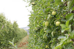 Mele nei frutteti della montagna dell'Italia Fotografia Stock Libera da Diritti