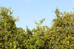 Mele non mature verdi Immagine Stock