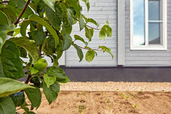 Mele non mature verdi crescenti sul ramo di albero Immagine Stock Libera da Diritti