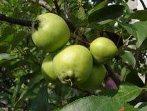 Mele non mature verdi su un ramo Immagine Stock