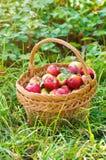 Mele organiche in cestino Fotografia Stock Libera da Diritti