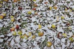 Mele poste sotto neve Fotografia Stock