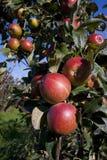 Mele rosse che crescono in un frutteto Immagine Stock