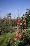 Mele rosse che crescono in un frutteto Fotografie Stock Libere da Diritti