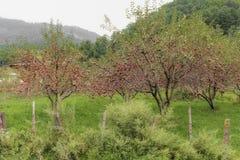 Mele rosse che pendono dai rami di albero pronti per la raccolta nel frutteto nel Bhutan Immagini Stock Libere da Diritti