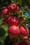 Mele rosse mature su un ramo ad un frutteto Fotografia Stock Libera da Diritti